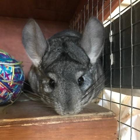 Columbia Greene Humane Society small pet - Adopt-A-Pet